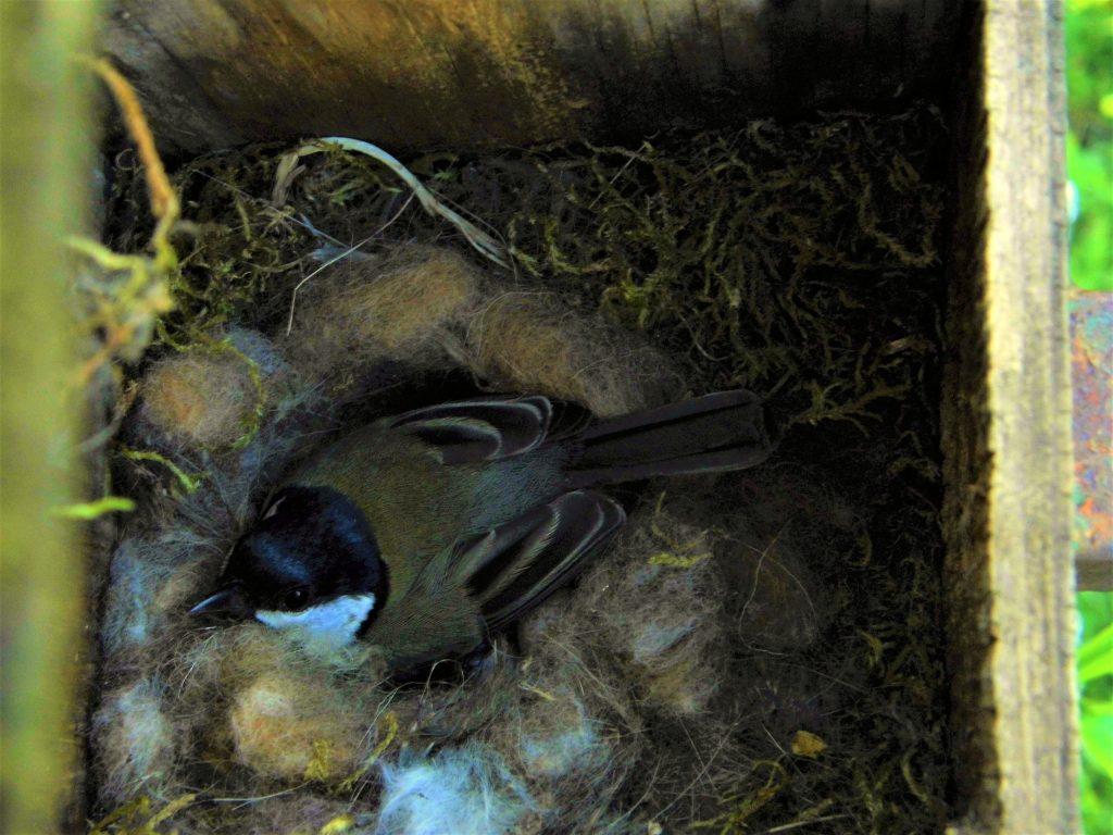 cassetta nido cince