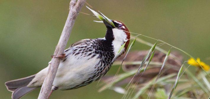 passero maschio alimentazione