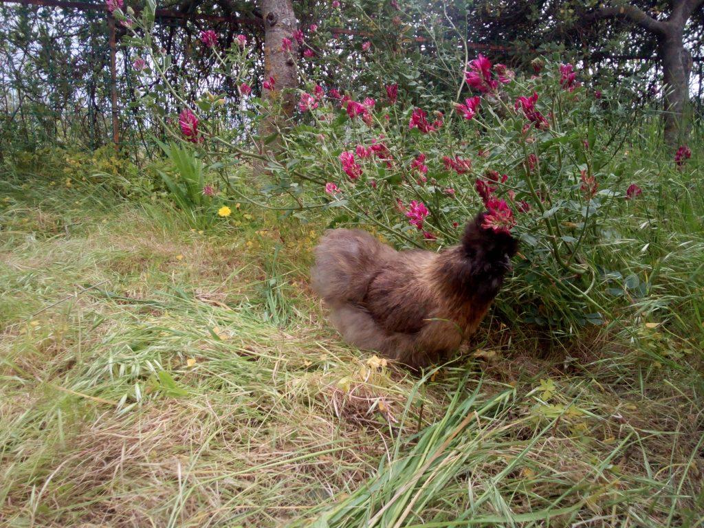 galline permacultura