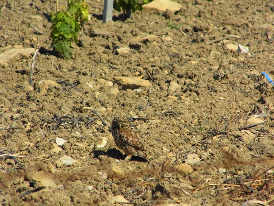 farmland bird index predators