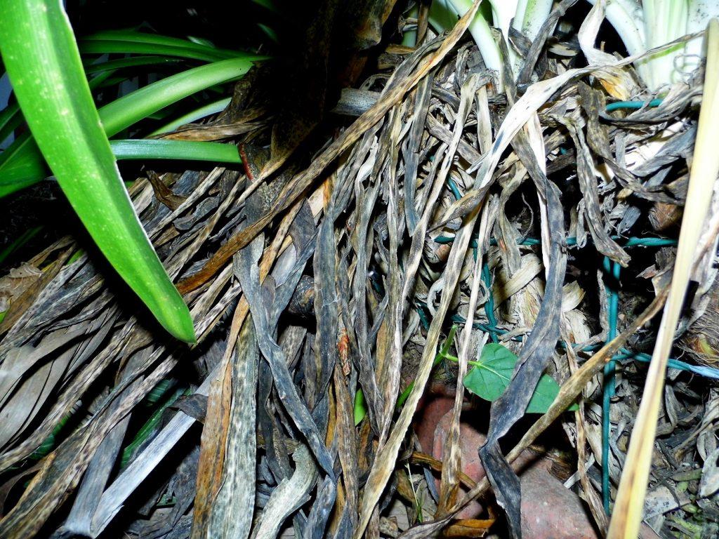 biomassa secca agapanto
