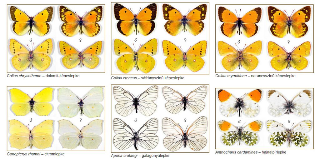 farfalle database ungheria