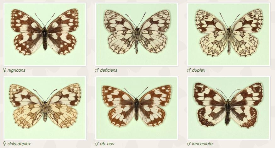 farfalle aberrazione