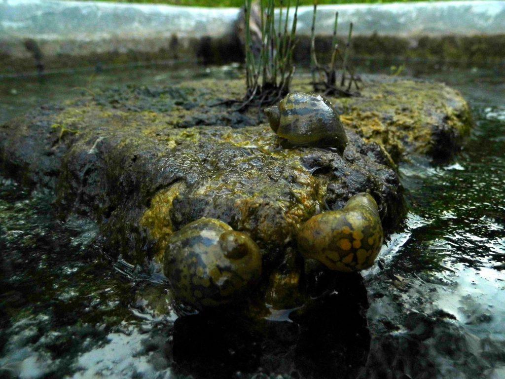 radix auricularia alghe