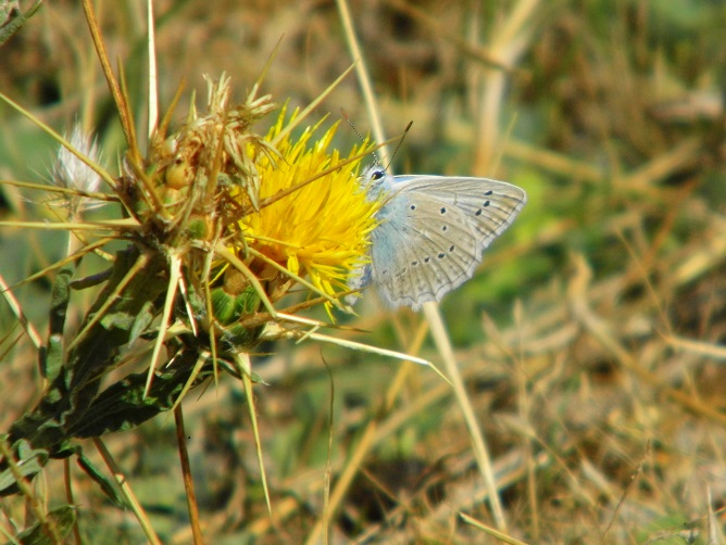 farfalle madonie