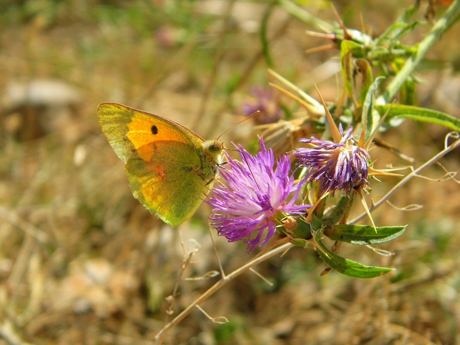 limoncella farfalle