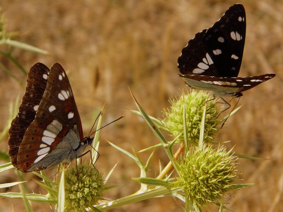 farfalle mitologia silvano