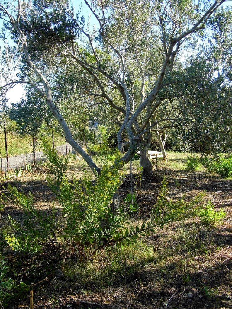 olivo lotta biologica