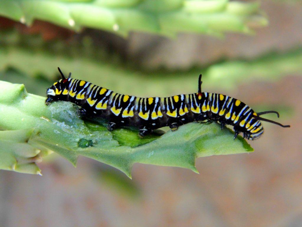 danaus chrysippus caterpillar
