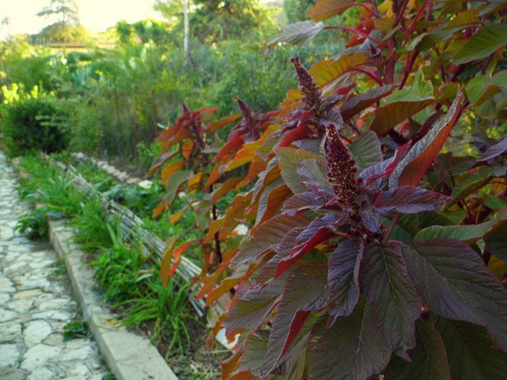amaranthus cruentus