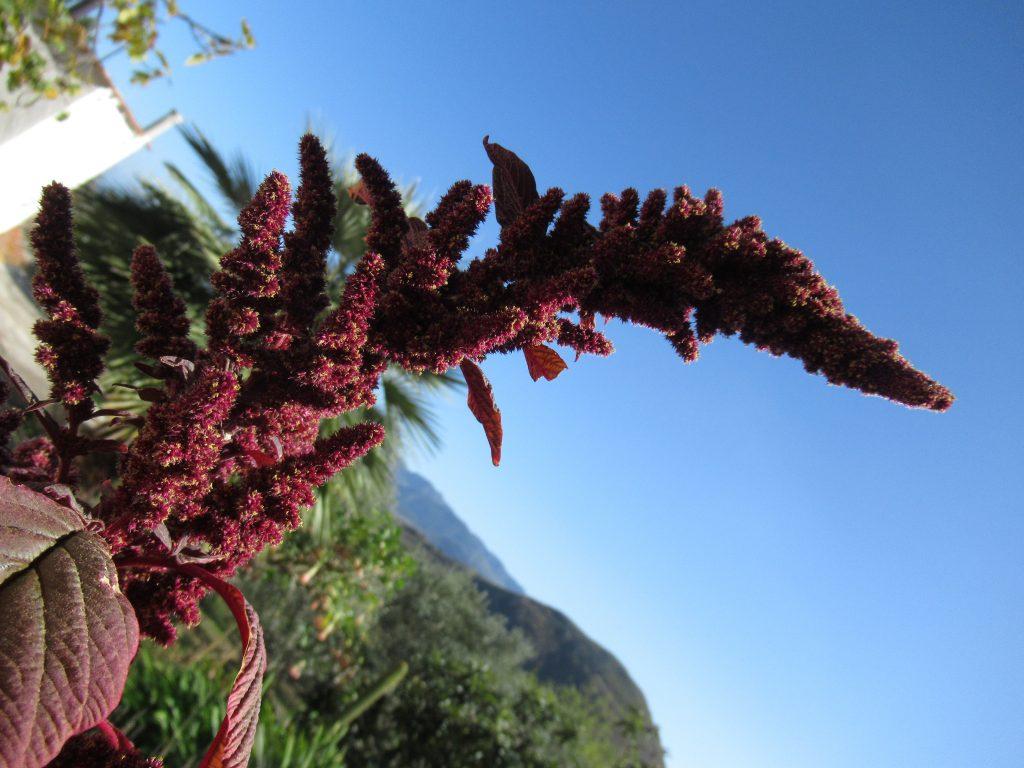 amaranthus spiga